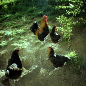 kippen bij boer in tuin, lomophoto